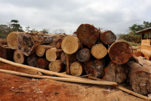 100% Pure Ghanaian Lumber: A Complete Primer on the Ghanaian Wood and Lumber Industry